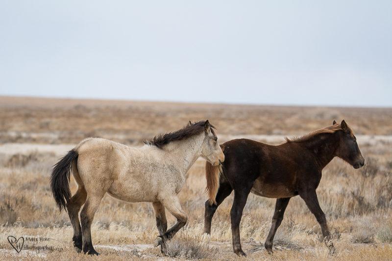 buckskin colt wild horse