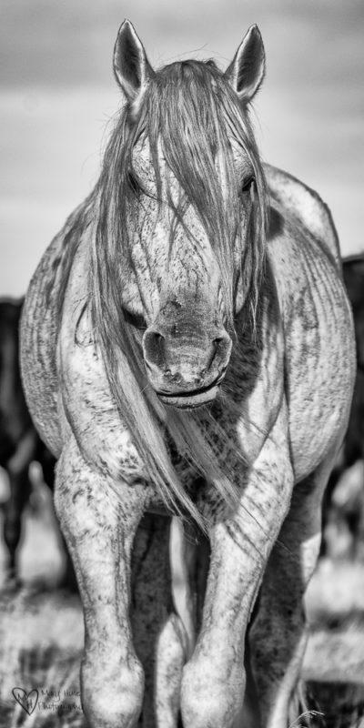 wild horse stallion in black and white
