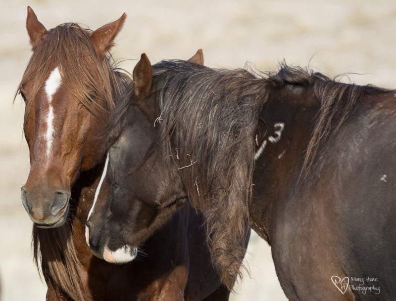 two wild horse mares