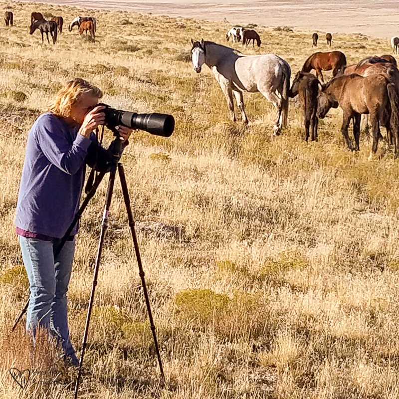 Taking pictures of wild horses