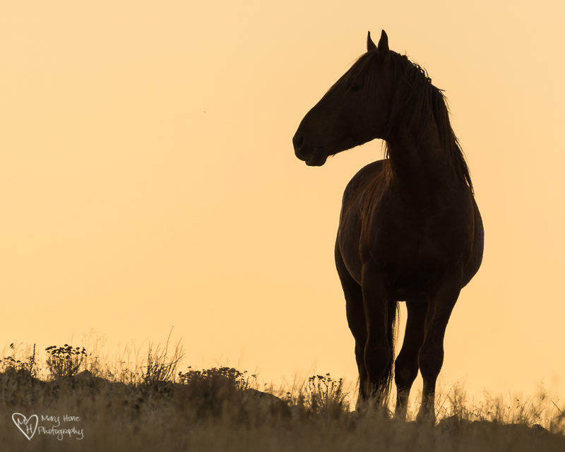 wild horse at sunset silhouette