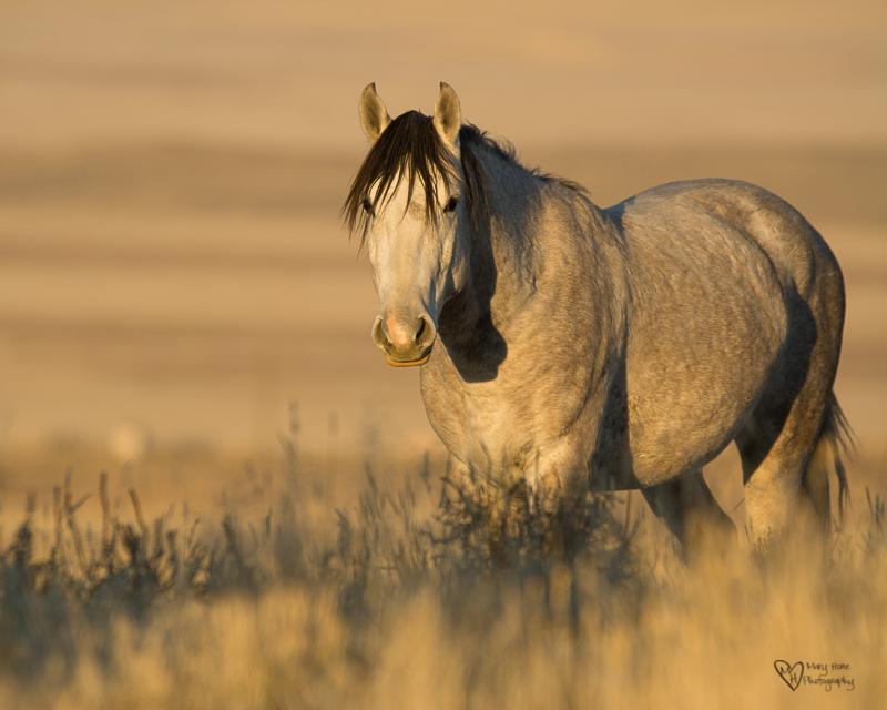 wild horse in the golden hour