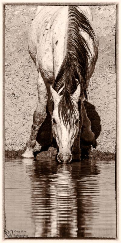 wild horse in sepia tones