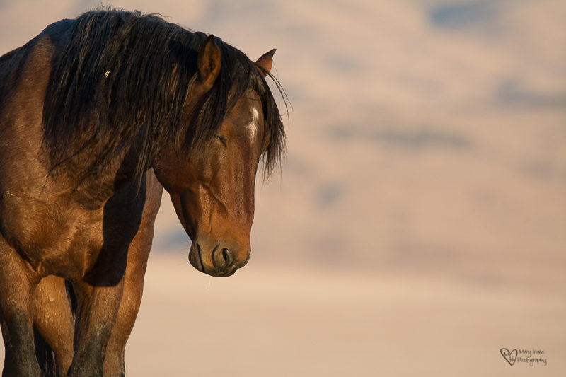 wild horse stallion in golden light