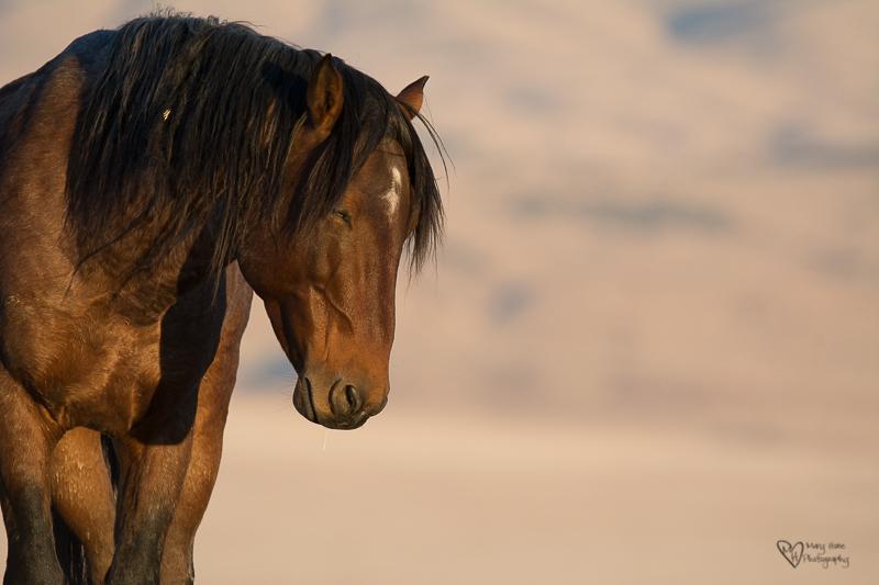 wild horse stallion in golden light