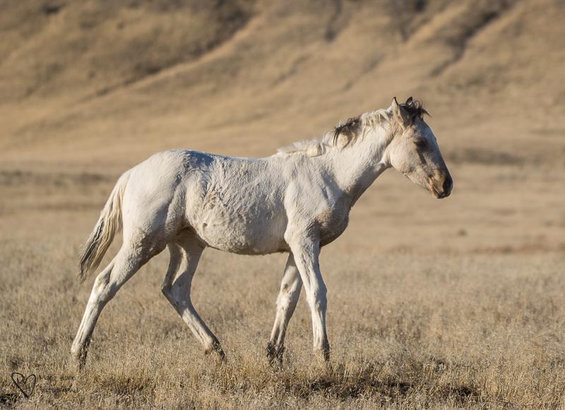 little wild horse foal