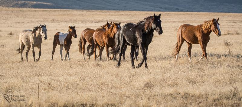 wild horses running to water