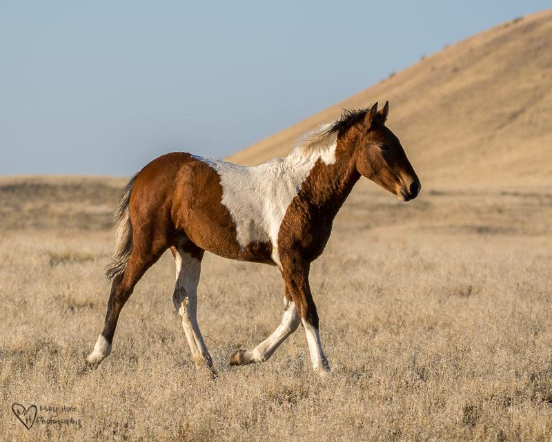 wild horse running foal. Wild Horse Freedom