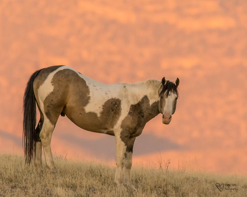 wild stallion at sunset