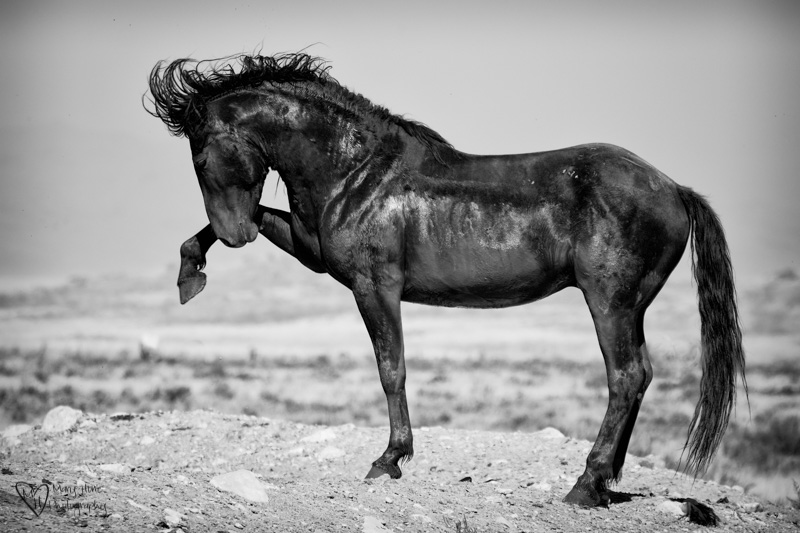 wild horse in black and white