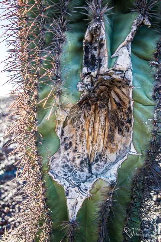 saguaro cactus that his been eaten