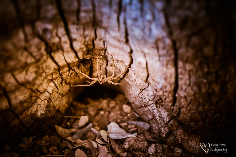 desert spider hiding in a log