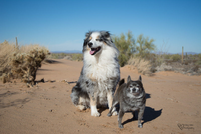Dogs in the desert