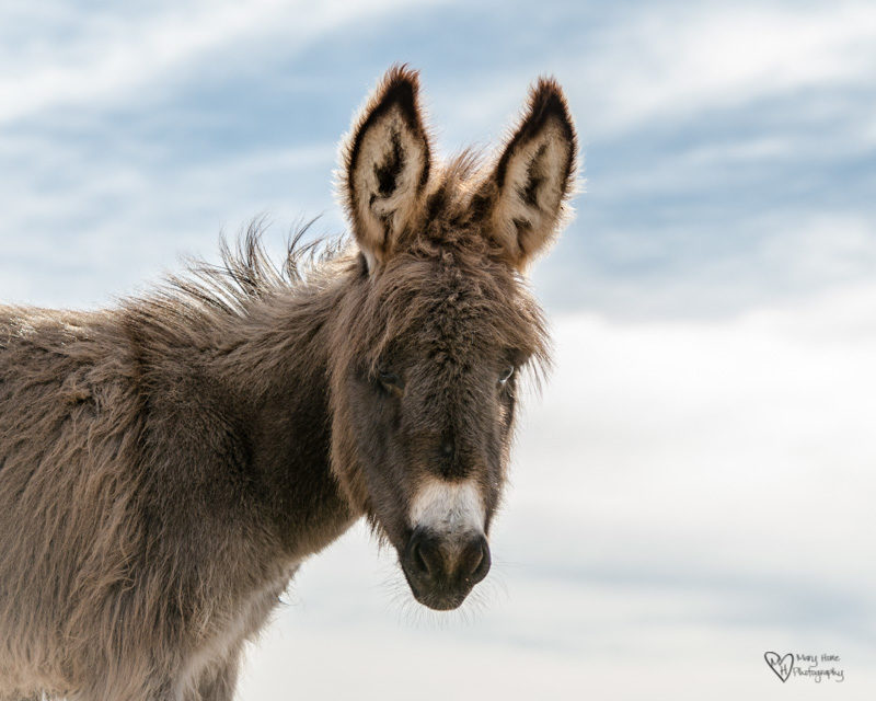 young fuzzy wild burro