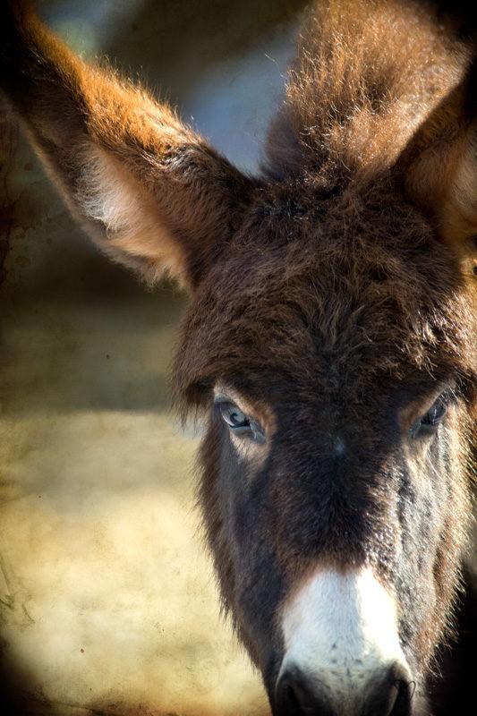 young wild burro