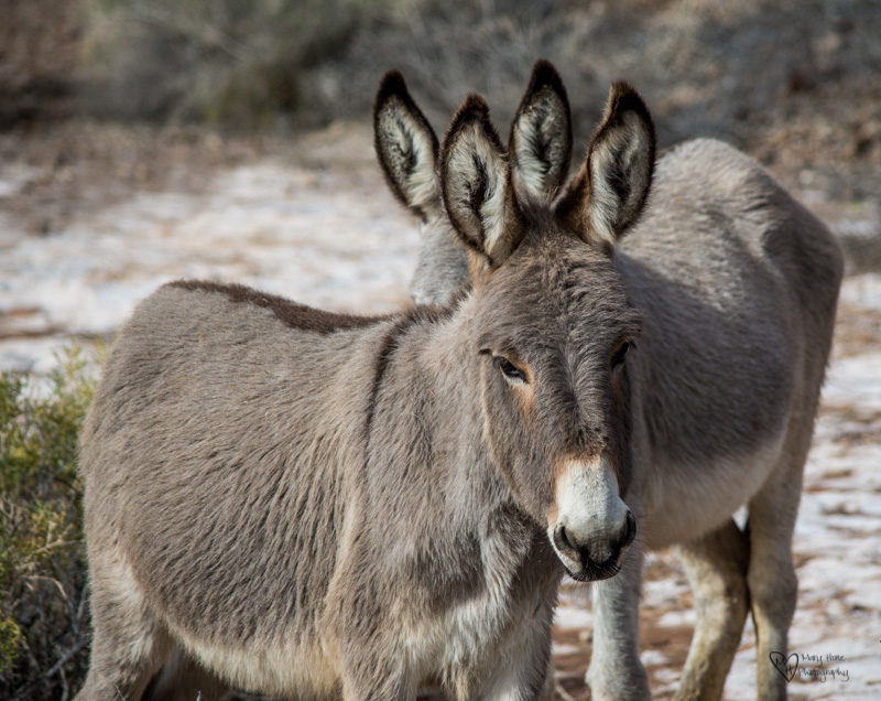 Wild Burros, Such Cute Little Ass's