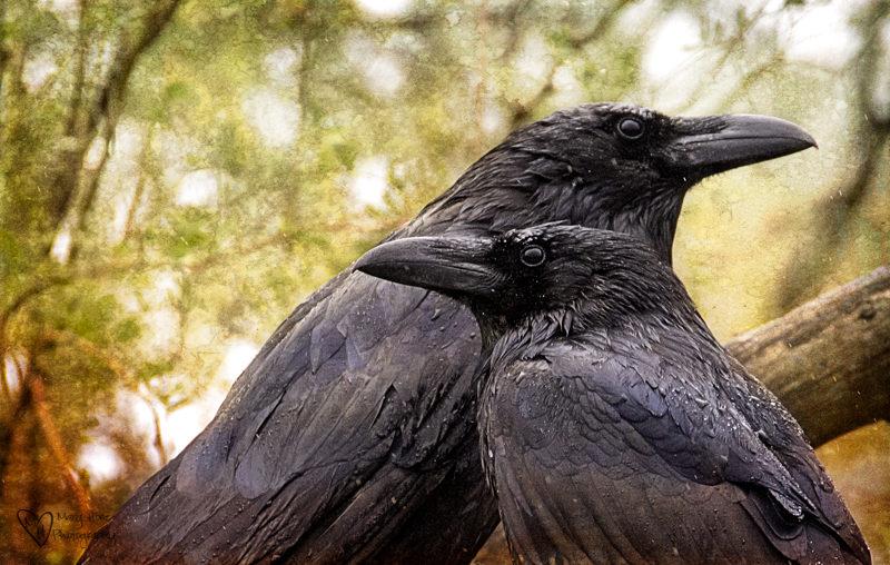 ravens in the rain