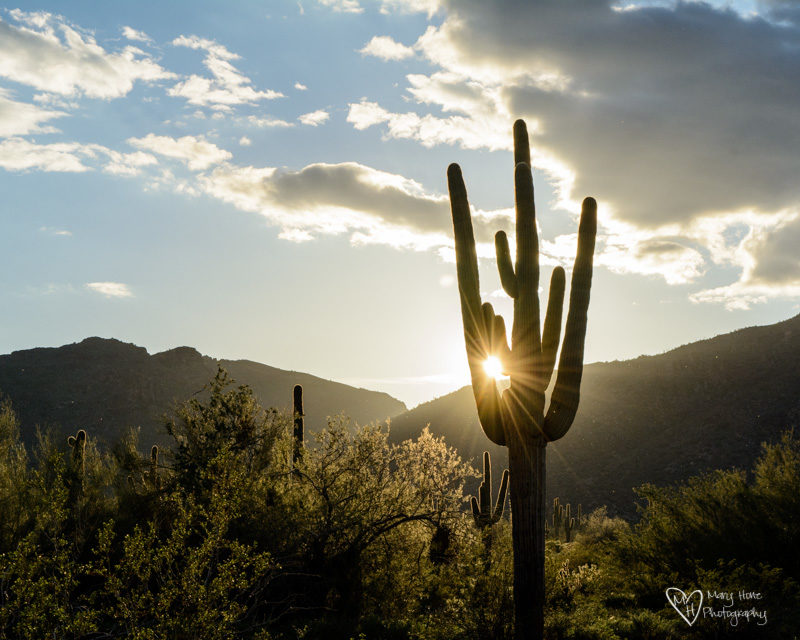 sunset saguaro in white tanks