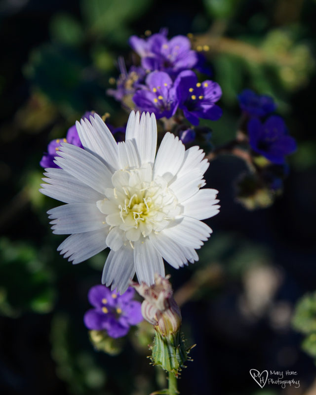 desert chicory, Sonoran Desert Super Bloom