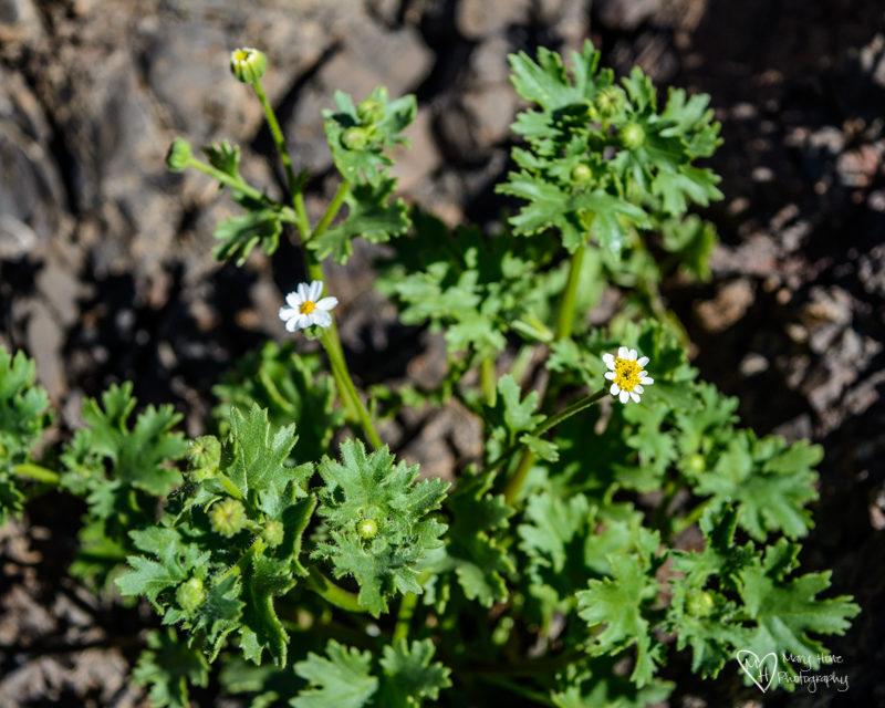 desert rock daisy