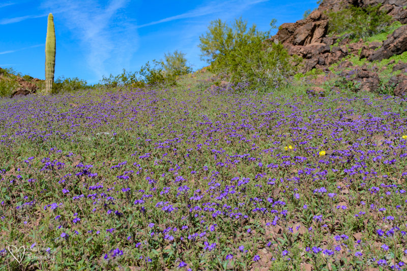 Sonoran Desert Super Bloom