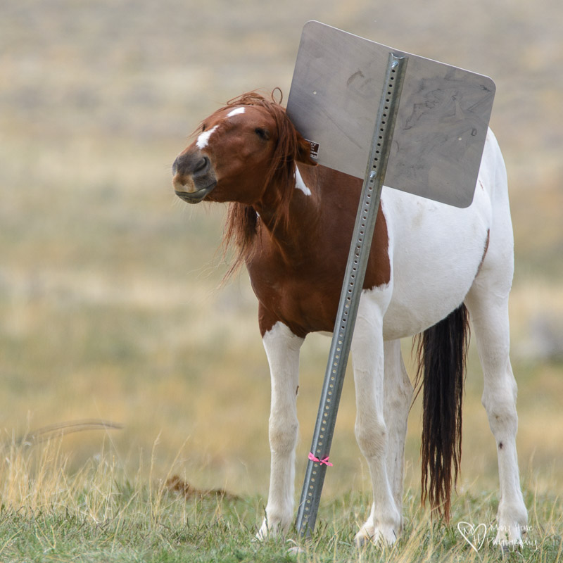 wild horse scratching on a sign