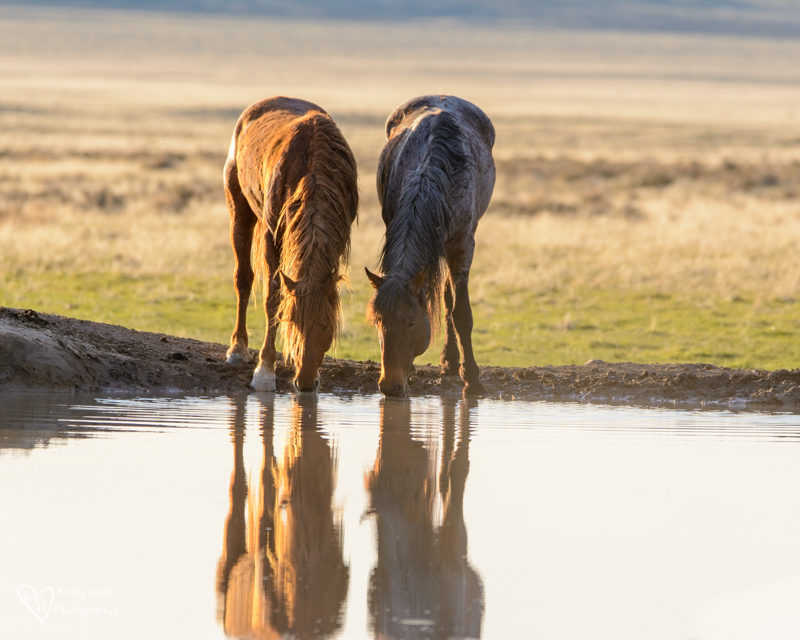wild horses at the watering hole