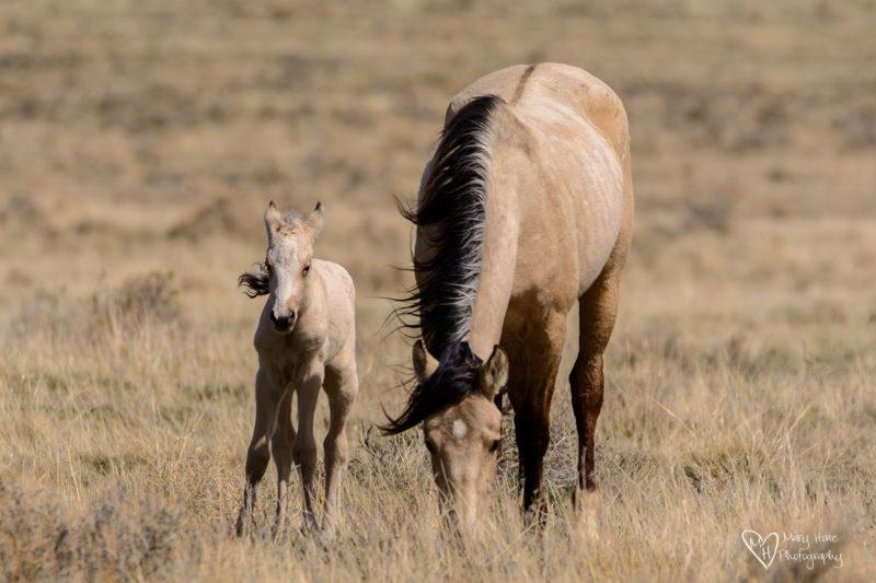 wild horse foal buckskin