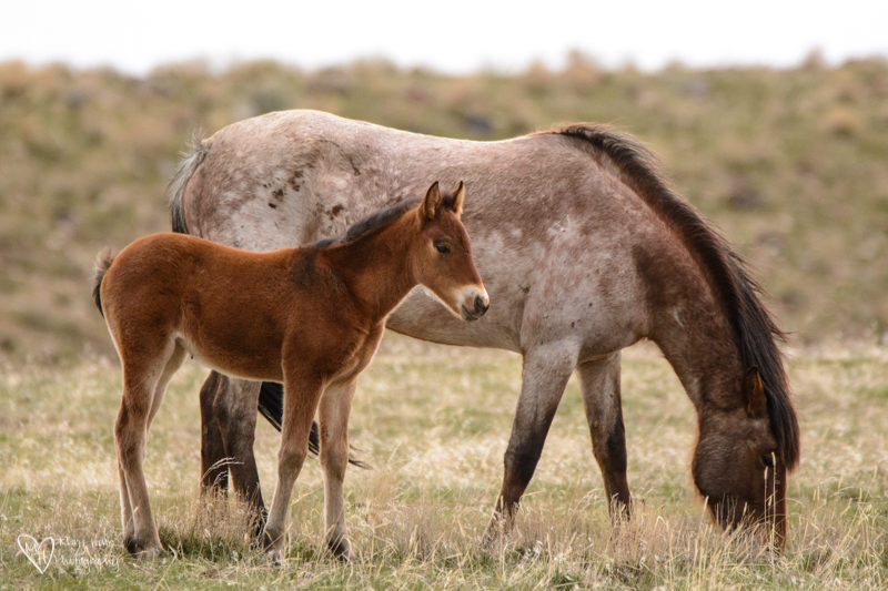 wild horse babies, foal and mom