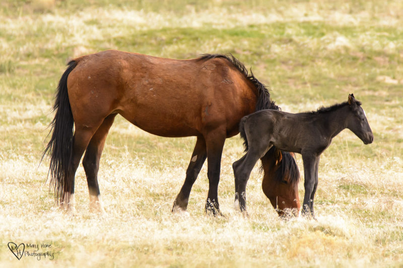 wild horse foal and mom, wild horse babies
