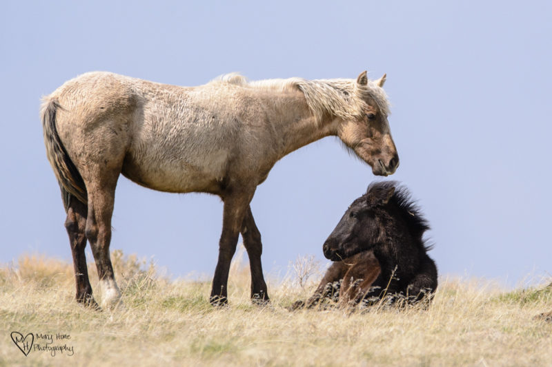 wild horses relax in the sun
