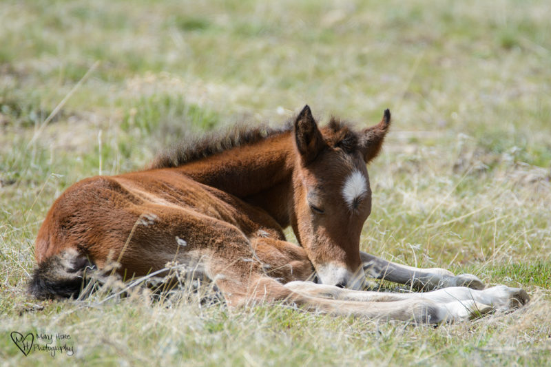 wild horse babies laying in the sunshine