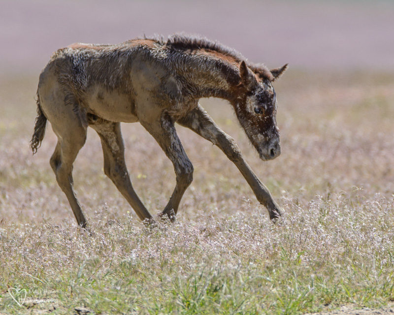 wild mustang foal in the mud