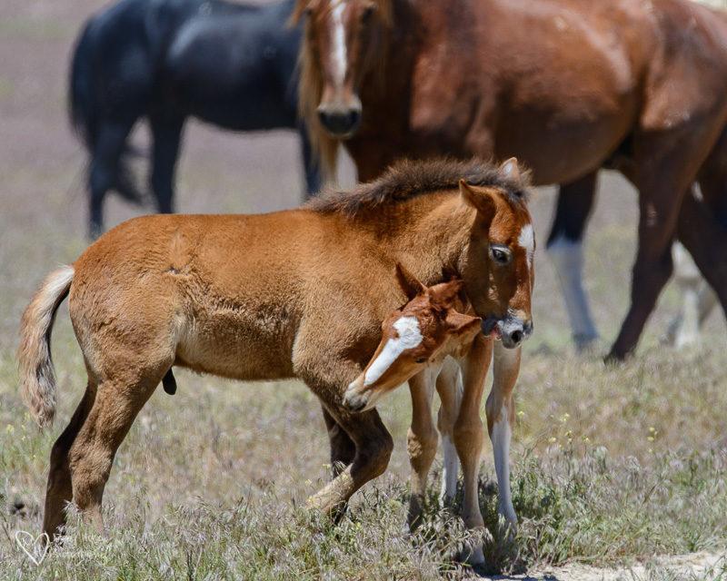 2 wild horse foals