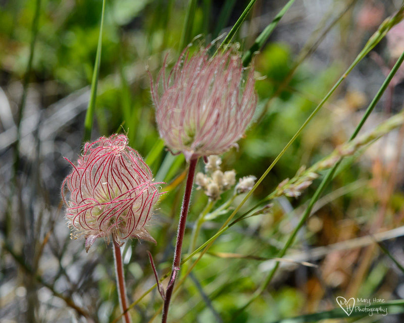prairie smoke wild flower in idaho