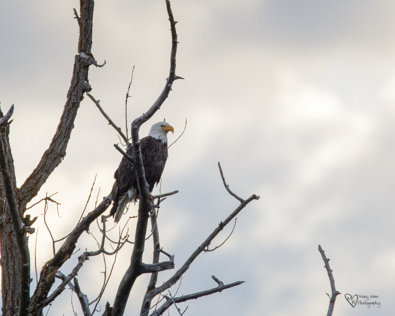 bald eagle in tree, Bird watching in Idaho and Wyoming