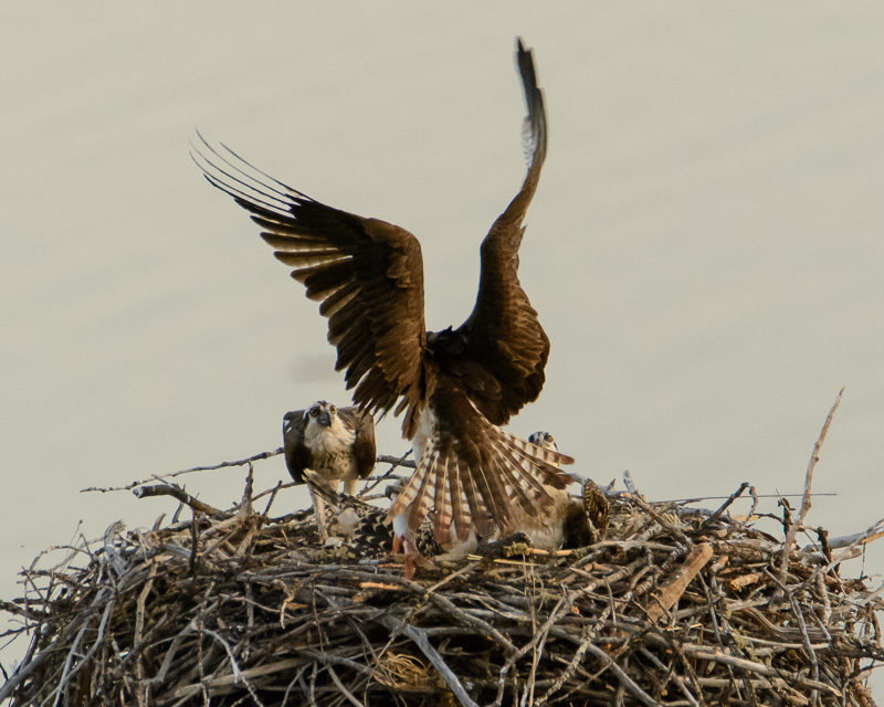 osprey chicks in nest