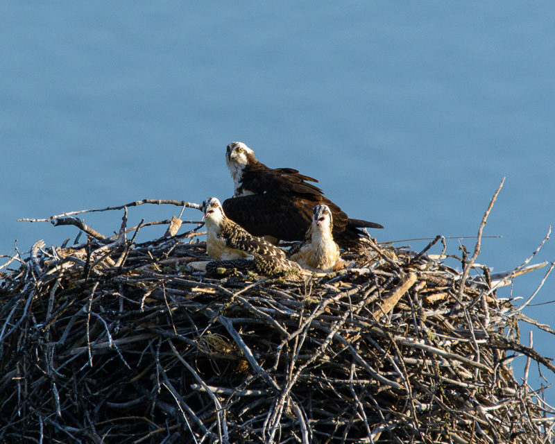 osprey chicks in nest, Bald Eagles, and Nesting Osprey in Idaho