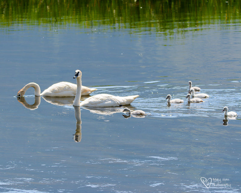 Swan family swimming in Wyoming