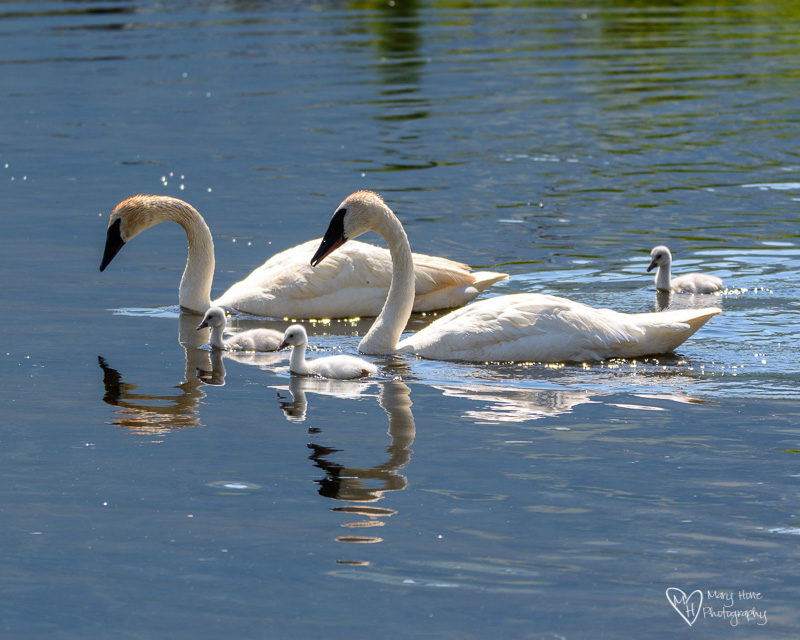 Swan family swimming