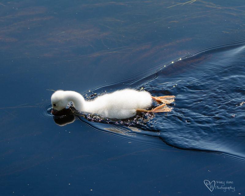 baby swan, cygnet