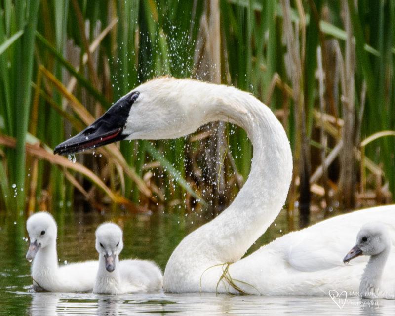 swan shaking water