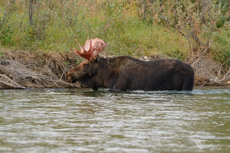 Moose in Wyoming bull moose in river