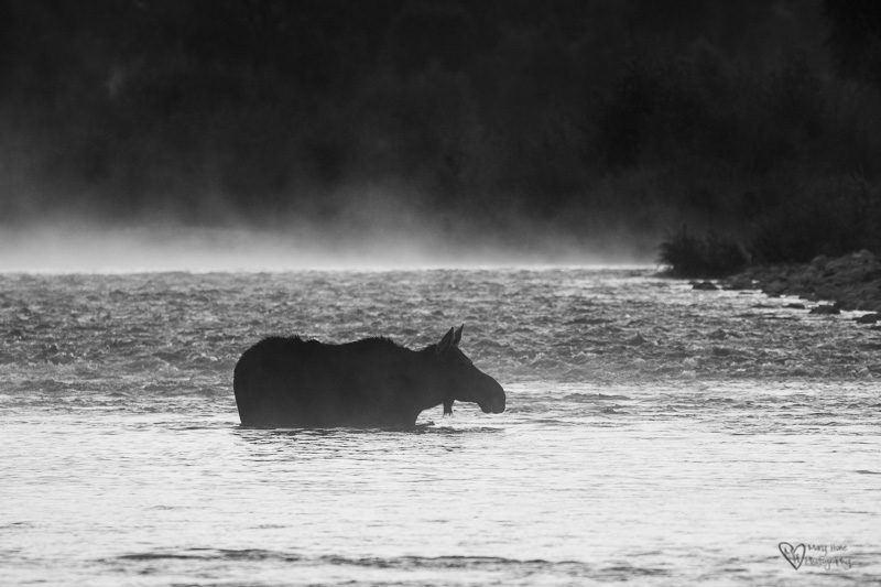 moose crossing a misty river