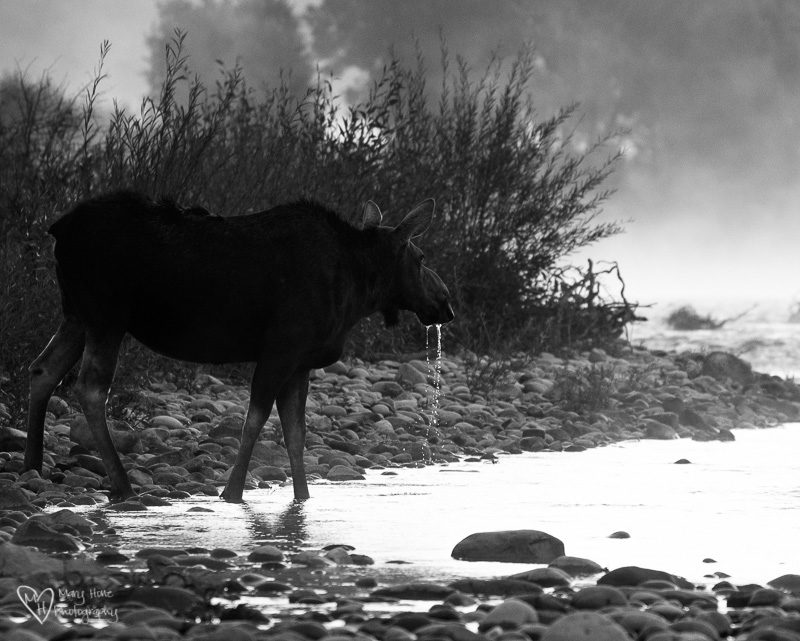 Moose drinking at river, Wyoming Wildlife Large and Small