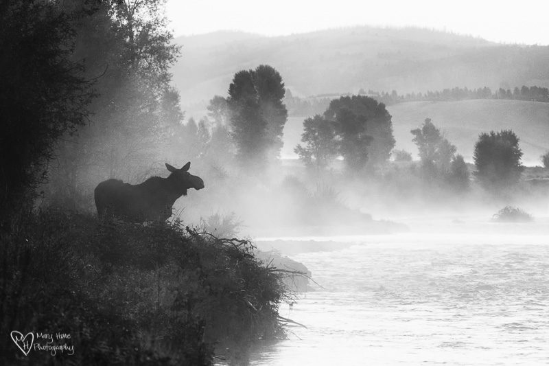 Moose in the mist of the river, Wyoming Wildlife Large and Small