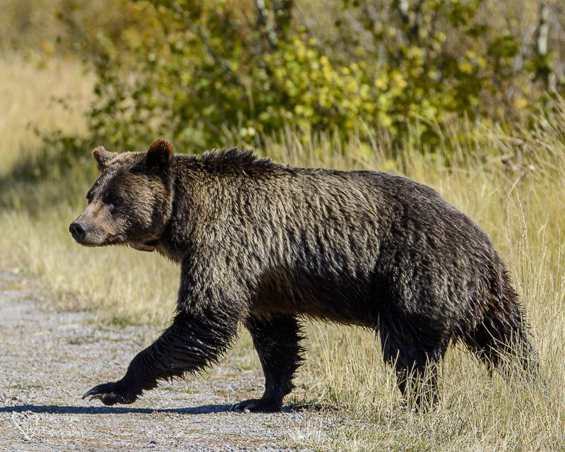 399 grizzly bear