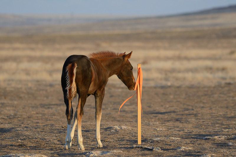 wild horse colt