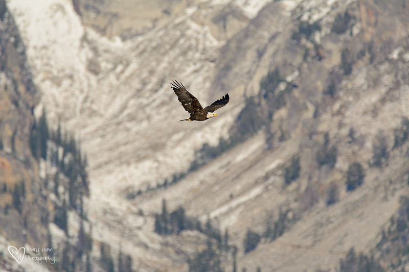 bald eagle in the tetons
