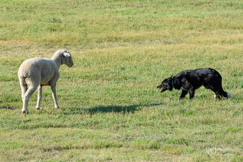 sheep and border collie